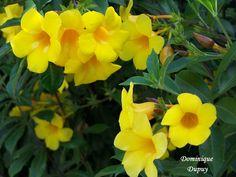 Alamandas jaune