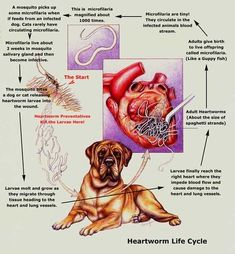 The Life Cycle of Heartworm Heartworm is a parasitic round worm (Dirofilaria immitis) which lives in the heart and lungs of dogs and occasionally in cats, ferrets and other mammals. Mosquitos transmit the parasite from dog to dog. The parasite is a major problem in many regions of the North America and in other countries, especially in areas where mosquitoes are present year-round and areas with warm temperatures. It takes 6 to 7 months after...