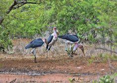 South Africa - Kruger Park (153) Marabou Stork