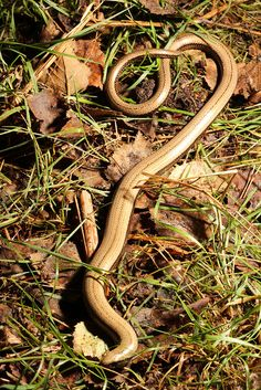 In Tunstall woods Suffolk Lizards, Snakes, Insect Hotel, British Wildlife, Creature Feature, Reptiles And Amphibians, Zoology, Worms, Insects
