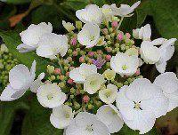 Hydrangea macr. 'Libelle'.JPG