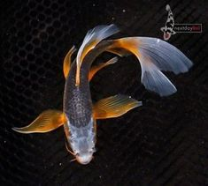 7 ASAGI Butterfly Fin Live Koi fish pond garden single NDK in Pet Supplies, Fish & Aquariums, Live Fish Fish Pond Gardens, Koi Fish Pond, Koi Carp, Fish Ponds, Garden Pond, Fish Fin, One Fish Two Fish, Live Fish, Goldfish Wallpaper