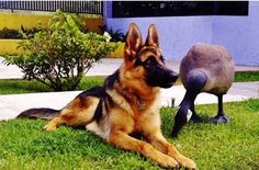 http://www.fordogtrainers.com/index.php?main_page=page=291 #german #shepherd #dog