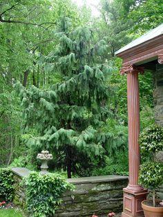 Weeping Alaska Cedar - love using this tree! #Karen