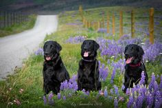 Day Trip | We took the dogs to Waterton Lakes National Park so that we could see the profusion of wildflowers that have sprung up after the fire.  It was breathtaking.