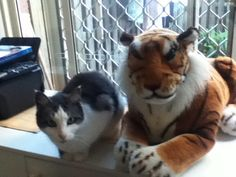 My cat Angel sitting with stuffed tiger