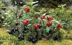 Lingonberry and black crowberry.  Puolukka ja variksenmarja. Kuva: Timo Nieminen.