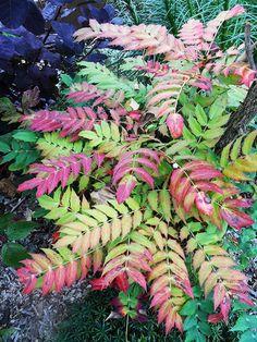LES MAHONIAS, entretien, plantation, variétés...Retrouvez tous nos conseils sur Inspirations Desjardins : http://www.desjardins-inspirations.fr/les-mahonias/