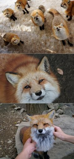 Oh my goodness! This little fox village in Japan must be one of the cutest spots on the earth! Since in Japan foxes are believed to bring luck, there is a special fox sanctuary in Japan's Miyagi Prefecture that anyone can visit every day. For as little...