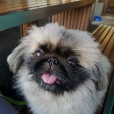 Excited to be joining my parents for a lovely dinner at @mainstreet3195 last night! @pekingesesworld Follow us @Pekingese._.Love for more💝 📷 Via : @gizzythepeke #pekingeseproblems #pekingesedog #pekingeser #pekingesestagram #pekingeseoftheworld #pekingesepuppies #pekingeseclub #pekingeselover #pekingeselove #pekingesefawn Pekingese Puppies, Pekinese, Parents, Kawaii, Dinner, Night, Animals, Dads, Dining