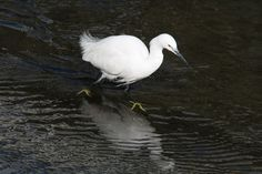 第2回 白衣の天使「コサギ」をじっくり観察しよう! | 神戸宇孝さんの「野鳥観察に行こう!」