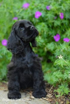 American cocker spaniel - you don't see too many of these in the UK. The American Cocker Spaniel comes from the USA and was bred originally to hunt small game - bird flushing and retrieving. Black Cocker Spaniel, American Cocker Spaniel, Cocker Spaniel Puppies, Beautiful Dogs, Animals Beautiful, Stunningly Beautiful, Cute Puppies, Dogs And Puppies, Baby Animals
