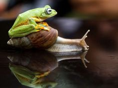 The frog climbs on top of a snail. - Hendy Mp/Solent News/Rex Features