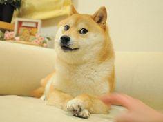 Origin of the Doge meme: 今夜のご飯は何ですか? : かぼすちゃんとおさんぽ。