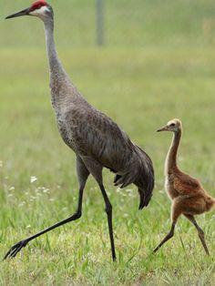 Sandhill crane female and chick