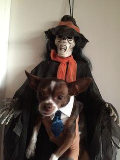 #Halloween #2014 #Cujo #chihuahua #dog