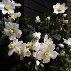 "Polubienia: 383, komentarze: 25 – Mette Fauerskov (@mettebfauerskov) na Instagramie: ""Juleroserne ved min hoveddør går helt amok nu 🌱The Christmasroses by my front door 🌱 #heleborus…"""