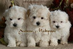 maltipoo pictures | what are maltipoo dogs like the maltipoo or maltepoo puppy