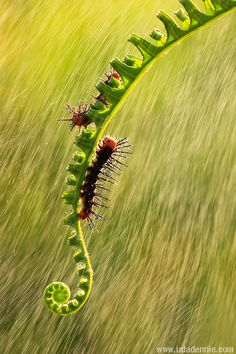 Caterpillars in the rain. Macro photography by Uda Dennie.