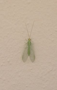 Order Neuroptera Family Chrysopidae Chrysopa carnea probably, his is a green lacewing, it's larval stage is a great predator of things like aphids