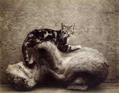 'johnny' (1944) by edward weston.  one of the photographer's many cats at the time.