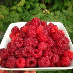 Freshly picked delicious Autumn raspberries