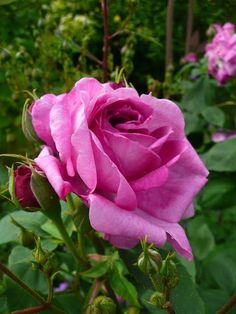 beautiful rose - love the colour variations