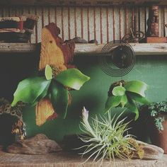 Staghorn fern mounts from burly wood cutouts