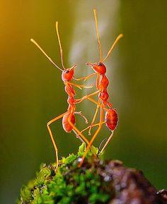 El sincronizado baile de dos hormigas de fuego Rhonny Dayusasono ha conseguido esta fotografía perfecta, y sin retoque fotográfico, después...