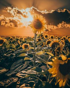 "35.7k Likes, 201 Comments - Nature (@nature) on Instagram: ""Follow @nature for more. Sunflowers & sunset make a perfect photo composition"