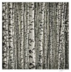 Once again about the birch. Photo by Andrey Borisov.birch pattern of lines and color Patterns In Nature, Textures Patterns, Tree Forest, Birch Forest, Tree Bark, Photo Tree, Monochrom, Arte Floral, Natural World
