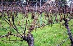 Shiraz vines after a machine harvest. Just so you can see the difference. The machine harvester knocks the berries off the stalks so this is what you're left with at pruning time. #owningawinery #Shiraz #machineharvest