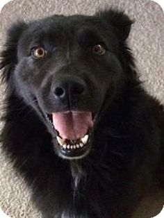 Labrador Retriever/Flat Coated Retriever/ Mix Dog for adoption in Apple Valley, California - Harry #160434