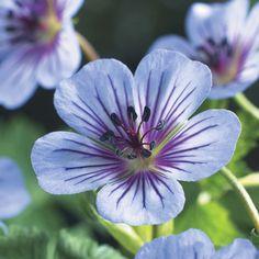 Hardy Geranium 'Crystal Lake' - Single Flowering Hardy Geraniums - The Vernon Geranium Nursery