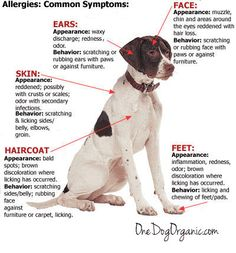 Does your dog have food allergies? Do you know what the symptoms of food allergies in dogs are? This is a great point of reference for all dog owners.