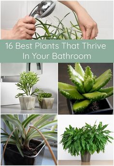 16 Best Plants That Thrive In Your Bathroom 16 besten Pflanzen, die in Ihrem Badezimmer gedeihen Inside Plants, Cool Plants, Live Plants, Shower Plant, Plants In The Shower, Dulux Valentine, Dracaena Plant, Carnivorous Plants, Belle Plante