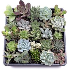 Shop for MCG Indoor Succulent Tray - Containers - 25 Varieties Get free delivery On EVERYTHING* Overstock - Your Online Flowers & Plants Outlet Store! First Mothers Day Gifts, Gifts For New Moms, Succulent Potting Mix, Succulent Names, Sweet Sixteen Gifts, Bachelorette Party Gifts, Planting Succulents, Indoor Succulents, Buy Succulents