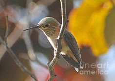 A tiny hummingbird resting in late summer before returning to warmer climates far away in the south.