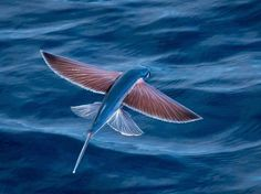 Flying fish can be seen jumping out of warm ocean waters worldwide. Their streamlined torpedo shape helps them gather enough underwater speed to break the surface, and their large, wing-like pectoral fins get them airborne. Water Animals, Paludarium, Underwater Life, Ocean Creatures, Underwater Creatures, Beautiful Fish, Sea And Ocean, Fish Ocean, Fish Fish