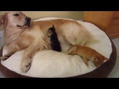 Tiny Foster Kittens Snuggling Big Dog & Trying To Suckle Milk From His Chest - 3 Weeks Old - YouTube
