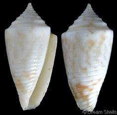 Conus acutimarginatus  Sowerby, G.B. II, 1866   Shell size to 22.5 mm   Venezuela - Brazi