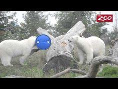 It's a Polar Bear Pentathlon