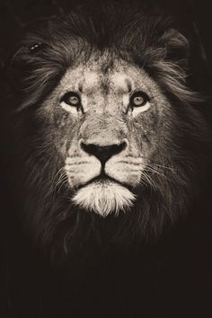 Buy Black and White Lion - Animals Paint By Number kit or check our new modern collections for adults paint by numbers. Relax and enjoy your canvas painting Black And White Lion, White Charcoal, Animals And Pets, Cute Animals, Wild Animals, Baby Animals, Lion Love, Lion Painting, Lion Wallpaper