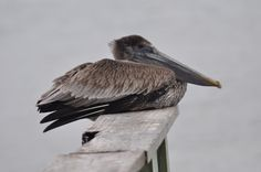 Lazy Pelican just sitting there waiting for handouts from fishermen. Free food. Panama city Beach, Florida