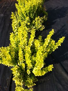 Barberry, one of the brightest foliage plants available from late April through October.