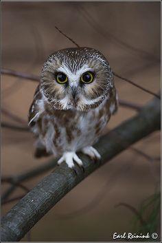 Owl Photos, Owl Pictures, Beautiful Owl, Animals Beautiful, Owl Bird, Pet Birds, Baby Animals Super Cute, Cute Animals, Grand Duc