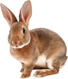 Brown Rabbit PSD, vector - VectorHQ.com