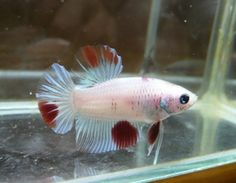 Betta For Sales !! BettaAkapes : We are selling high quality of Bettas only. which all kind of bettas as Plakats, Siamaes Fighting, Vieltails, HalfMoon. HalfMoon Plakats, Giants, Deltas, Super Deltas, Double Tails and also Fancy Bettas.,
