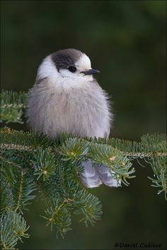 Gray Jay in Spruce. by Daniel Cadieux on 500px. These guys are so friendly they will come down and eat of your hand in the wilderness!
