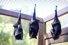 Rehab | Megabats in care, Flying-foxes, Fruit bats